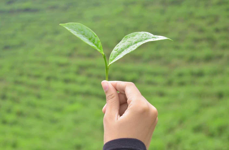 trà xanh có khả năng chống khuẩn tốt