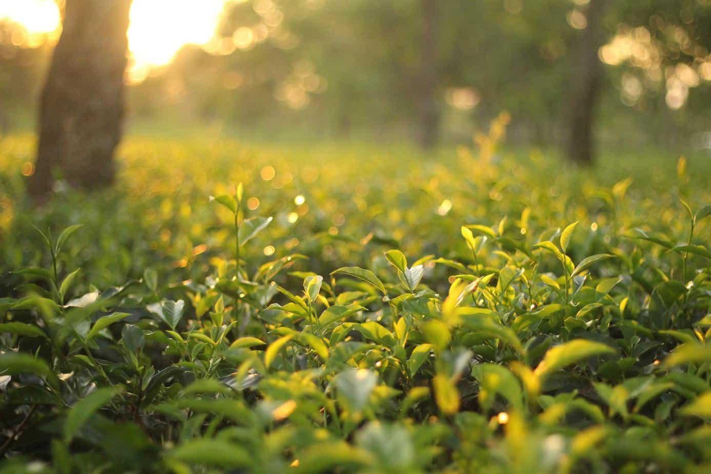 chiết xuất trà xanh chống lão hóa
