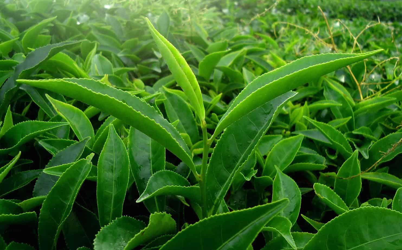 trà xanh bí quyết làm đẹp của người Nhật