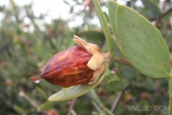 simmondsia chinensis seed oil là gì