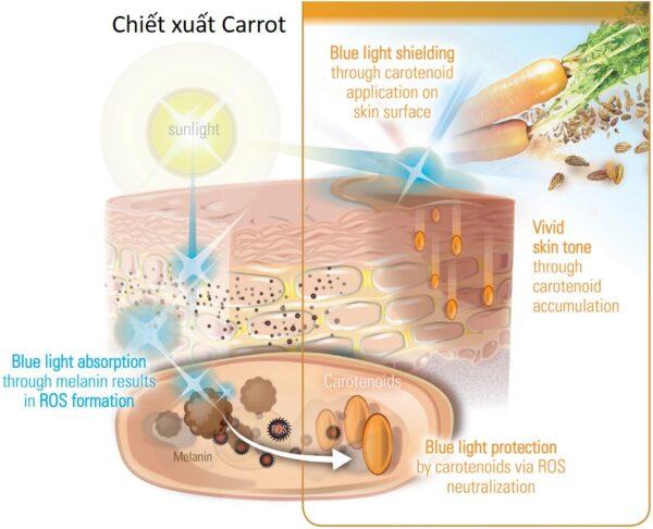 chiết xuất carot trong mỹ phẩm
