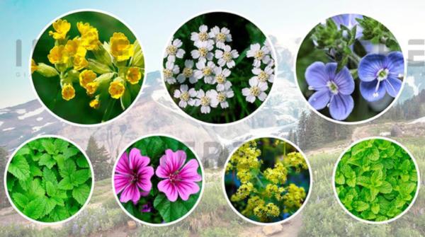 7 loại thảo dược