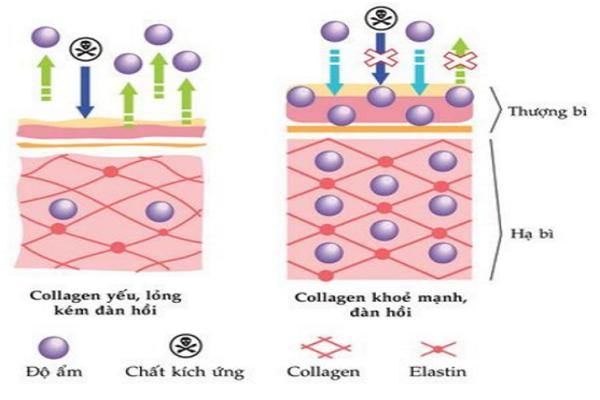Cơ chế chống lão hóa của collagen