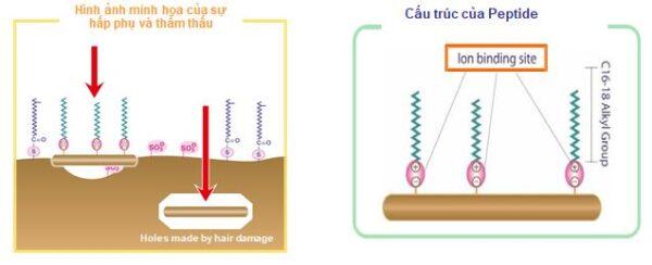 cơ chế phụ hồi tóc từ peptide đậu hà lan